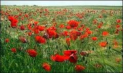 Poppy Field on the Somme. Picture from the BBC.