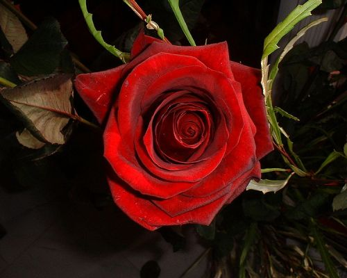 Red_rose_closeup