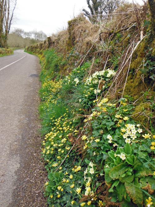 Profusions of Primroses and Celandine on a sunny bank