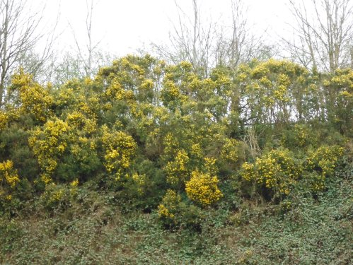 Gorse (also known as Whin or Furze) lines the roadways and hedges