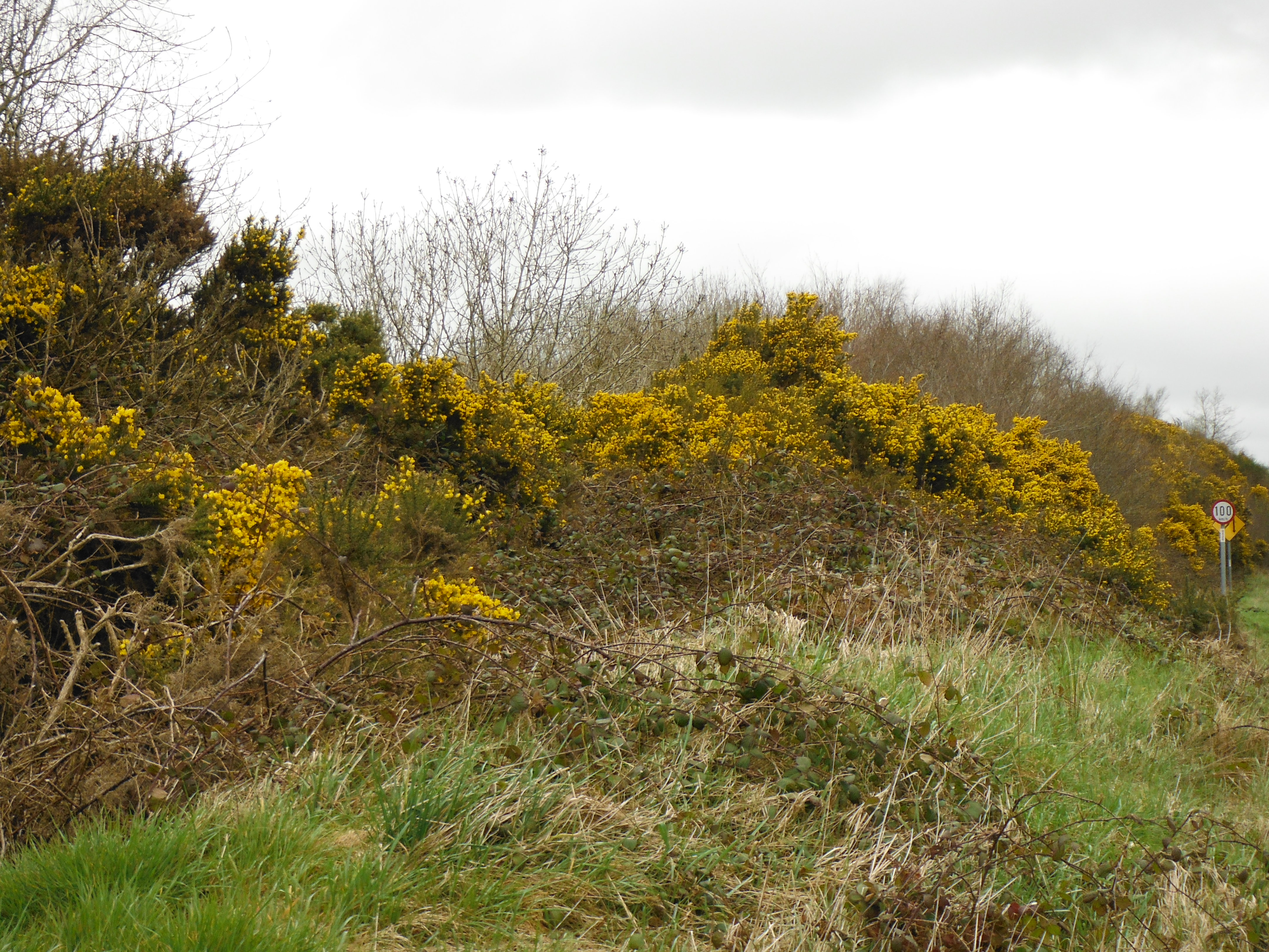 The Suplhur Yellow Gorse  -a promise of  summer sunshine to come?