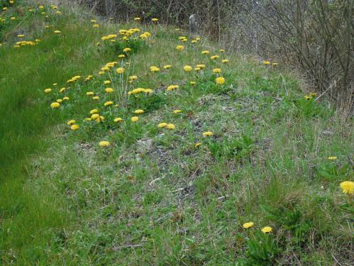 Crowds of yellow dandelion open their faces to the sun