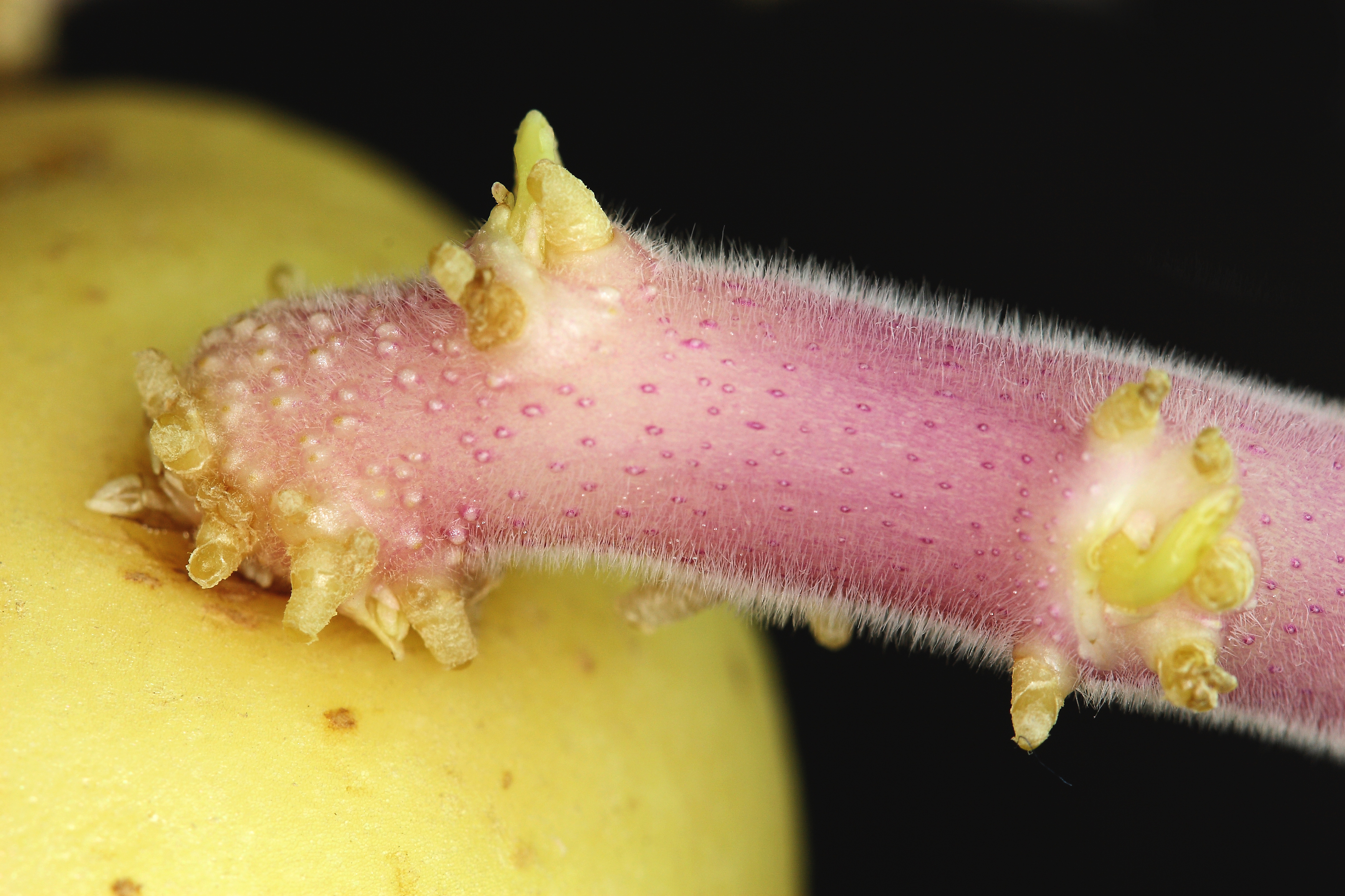 Sprouted Seed Potato. Image WikiMedia Commons