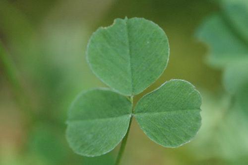 Trifolium.dubium