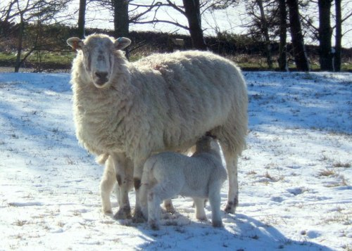 A Ewe and her lambs in the snow (Image Wikimedia Commons)