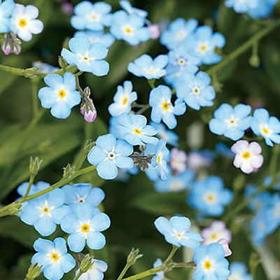 Forget-me-not. (Image Wikimedia Commons)