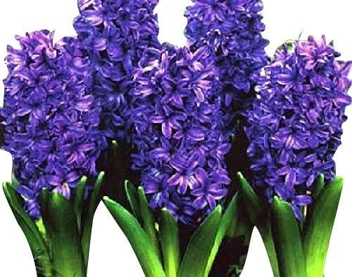 This image has an empty alt attribute; its file name is purple-hyacinth.jpg